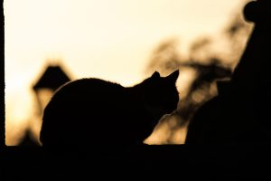 Silhouetted Cat