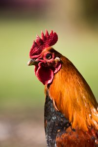 Rooster Colours