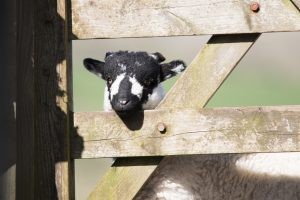 KTSI-2137   Swalesdale Youngster