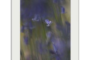 Bluebells Dream | Mounted Print