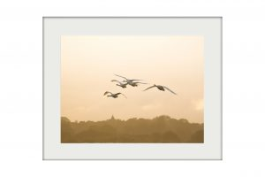 Swan Flight Mounted Print