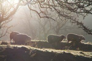 Winter Sheep | KTSI-11