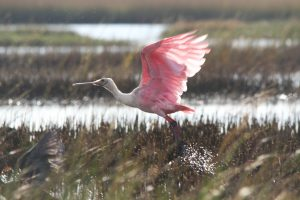 Pink in the Marshes | AB-56