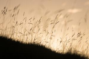 Pewter Grass   KTSI 104
