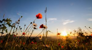 Poppies and Daisies | FE-29