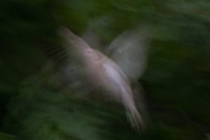Wild Dove   KTSI-38