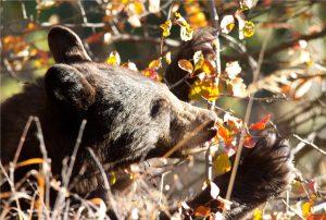 Autumn Bear | OW-W4
