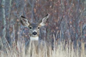 Mule Deer | OW-W8