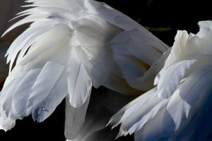 Just Feathers | AB-37