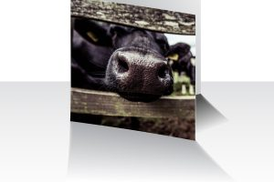 Nosey Cow Greeting Card