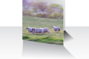 Running Sheep Greeting Card