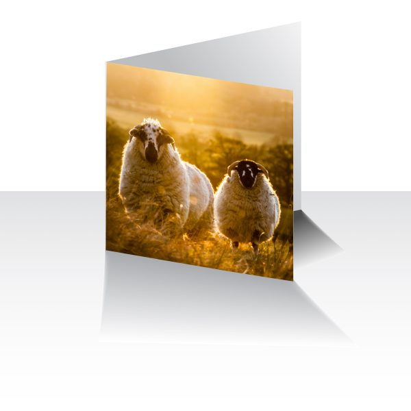 Two Sheep Greeting Card