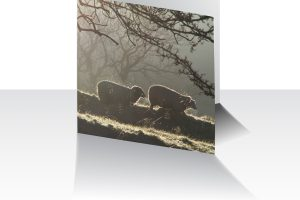 Winter Sheep Greeting Card