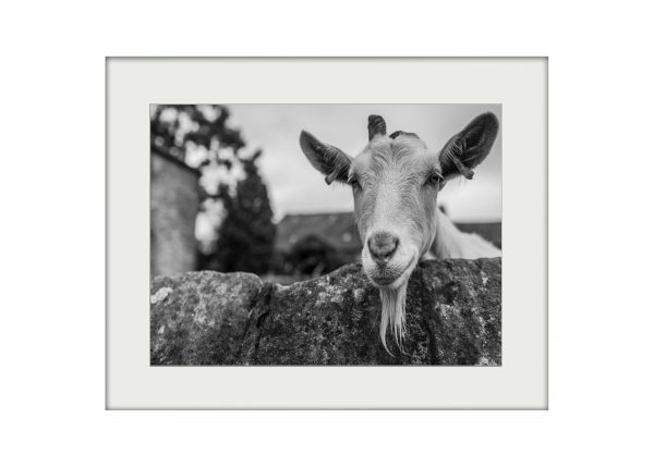 Hello Goat | Mounted Print