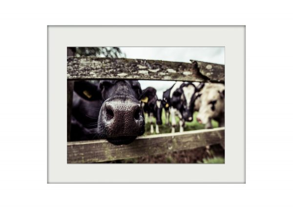Nosy Cow | Mounted Print