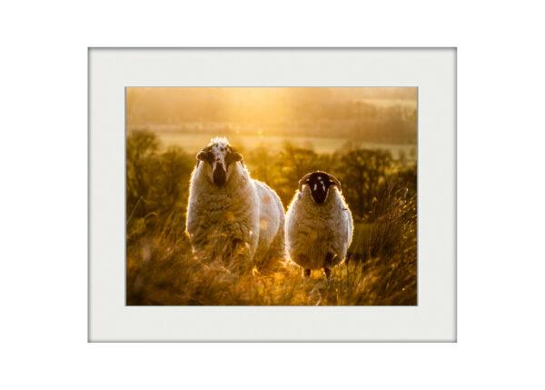 Sheep at Sunset | Mounted Print