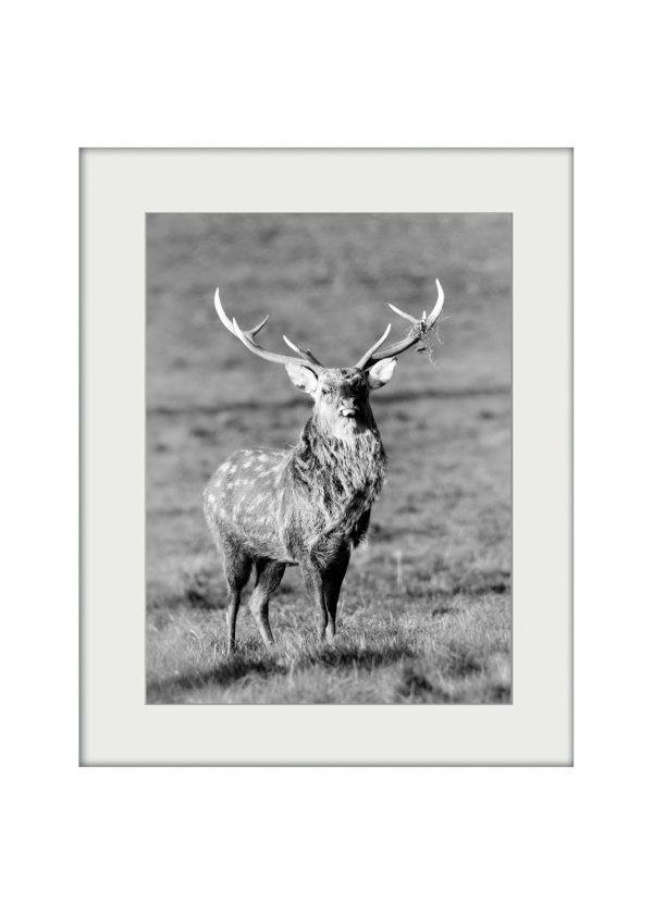 Sika Stag | Mounted Print