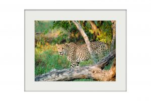 Evening Prowl | Mounted Print