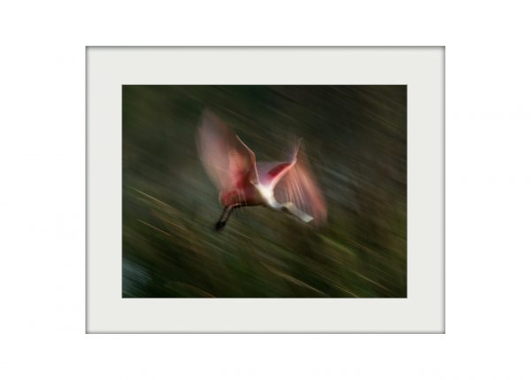 Firebird | Mounted Print