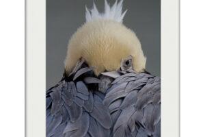 Harlequin | Mounted Print