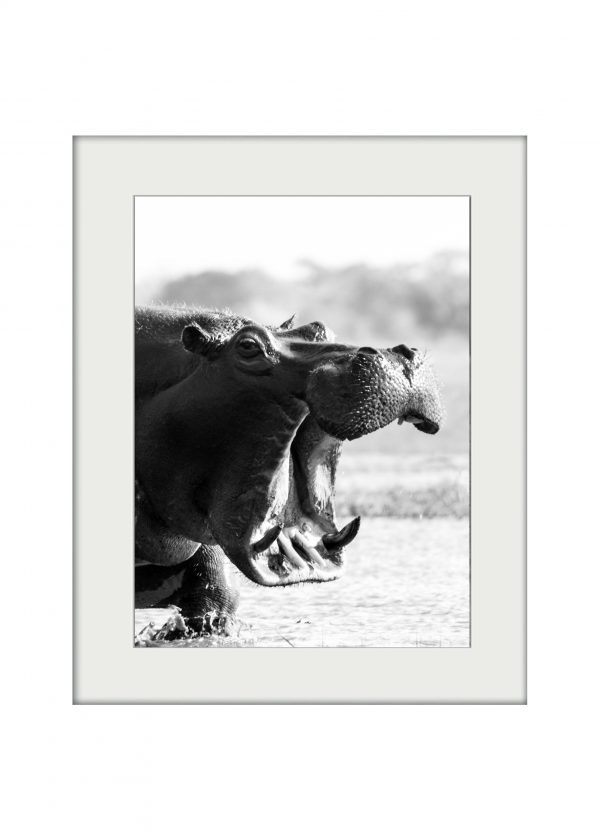 Hippo Charge | Mounted Print