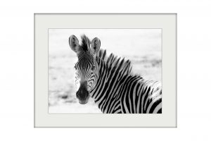 Zebra in Zambia | Mounted Print