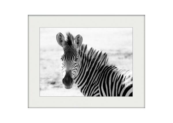 Zebra in Zambia | Mounted Print
