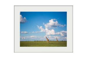 Blue Giraffes