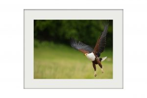 Fish Eagle on the Chobe