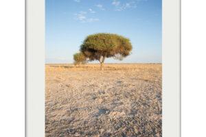 Kalahari Thorned Acacia