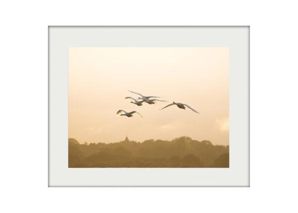 Swan Flight Mounted Print