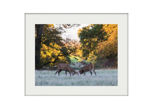 Young Bucks Mounted Print